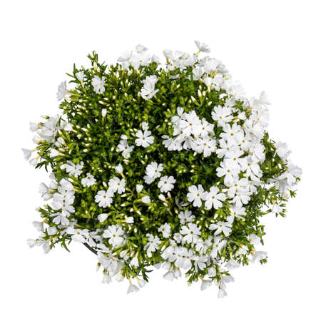 Top view of white blooming Phlox Subulata plant, isolated on white background.
