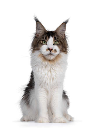 Very handsome young bicolor ticked Maine Coon cat, sitting facing front. Looking majestic beside camera with green eyes. Isolated on white background.