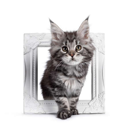 Super cute silver tabby Maine Coon cat kitte, stepping through white photo frame. Looking dreamy towards camera. Isolated on white background. Banco de Imagens
