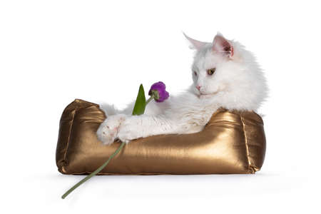 Adult solid white Maine Coon cat, laying in golden basket. Looking towards purple fake tulip in paws with golden eyes. isolated on white background.