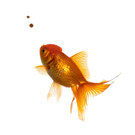 Orange cold water fish and goldfish swimming towards food. Isolated on white background.