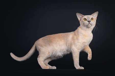Cute young Burmese cat, standing side ways with one paw playful in air. Looking up / above camera with large yellow eyes. Isolated on black background. Banque d'images - 152015297