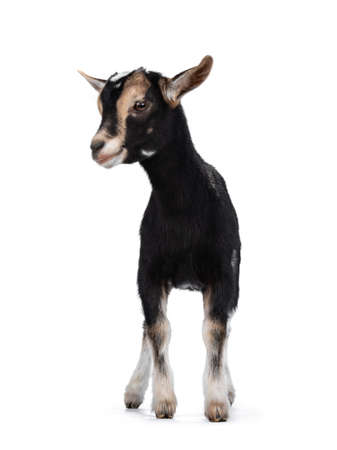 Black baby goat with white and brown spots, standing facing front. Looking to the side. Isolated on white background.