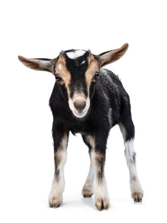 Black baby goat with white and brown spots, standing facing front with head down. Looking with both eyes to camera. Isoalated on white background.