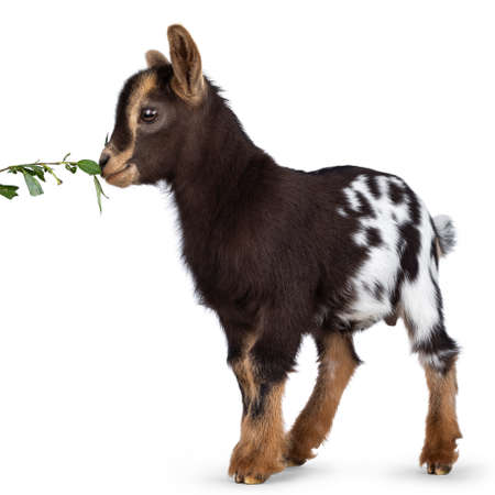 Cute brown with white spotted belly baby pygmy goat, standing side ways. Head up eating green leafs from branch. Isolated on a white background.
