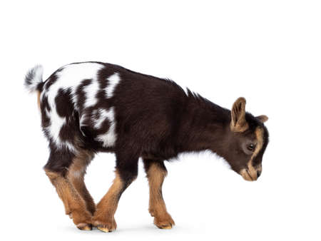 Cute brown with white spotted belly baby pygmy goat, standing / walking side ways. Head down and looking straight ahead to the ground. Isolated on a white background.