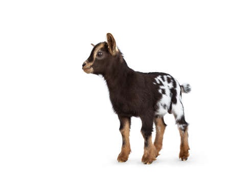 Cute brown with white spotted belly baby pygmy goat, standing side ways. Head up and looking straight ahead. Isolated on a white background.
