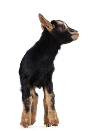 Cute black brown baby pygmy goat with navel cord, standing facing front. Head turned and looking to the side. Isolated on white background.