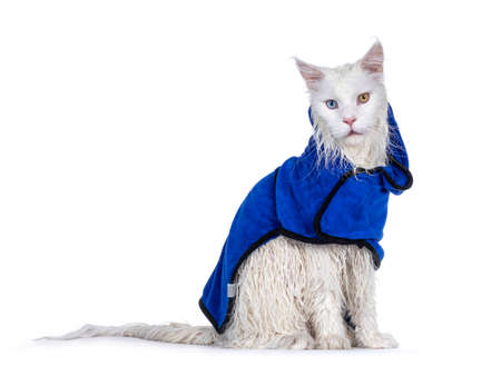 Freshly washed solid white odd eyed Maine Coon cat wearing blue towel cape, sitting side ways. Looking at camera. Isolated on white background.