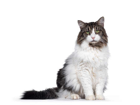 Senior Norwegian Forestcat, sitting side ways facing front. Looking away from camera with green eyes. Isolated on white background.