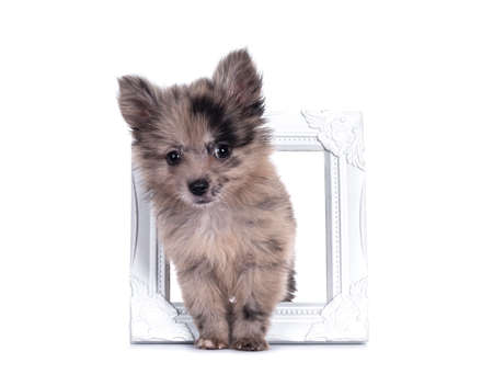Very cute blue merle mixed breed Pomerian / Boomer puppy, standing through white photo frame. Looking towards camera with shiny dark eyes. Isolated on white background.