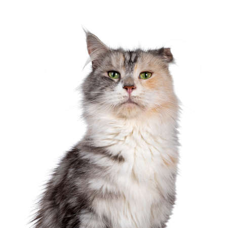 Head shot of cute silver tortie Maine Coon cat. Looking beside camera with green eyes. Isolated on a white background. Folded ear due to cauliflower injury.