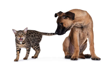 Savannah F7 cat and Boerboel malinois cross breed dog, playing together. Dog biting in cats tail, cat screaming. Isolated on white background.