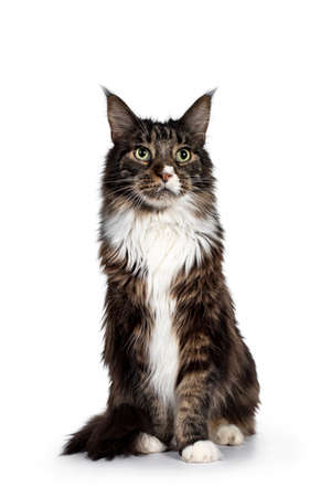 Handsome adult Maine Coon cat, sitting facing front. Looking above camera with paw playful in air with green eyes. Isolated on white background.