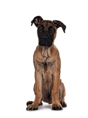 Handsome Boerboel / Malinois crossbreed dog, sitting facing front. Head up, looking at camera with mesmerizing light eyes. Isolated on white background.