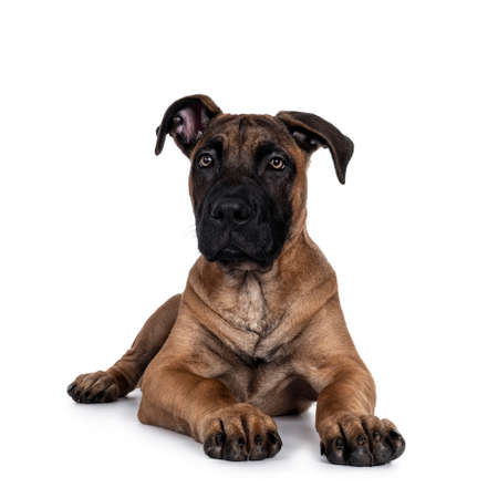 Handsome Boerboel / Malinois crossbreed dog, laying down facing front. Head up, looking at camera with mesmerizing light eyes. Isolated on white background. Archivio Fotografico