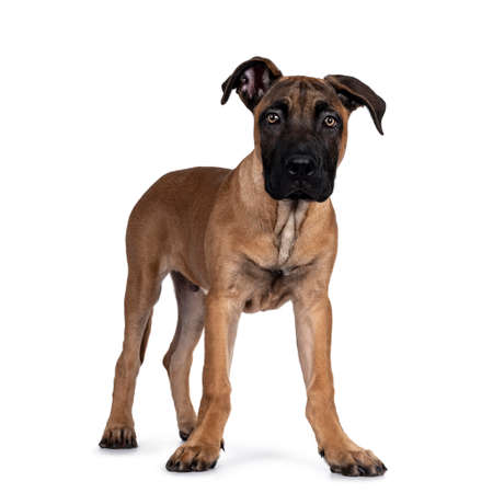 Handsome Boerboel / Malinois crossbreed dog, standing side ways. Head up, looking ahead with mesmerizing light eyes. Isolated on white background.