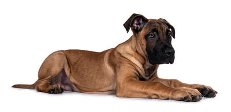 Handsome Boerboel / Malinois crossbreed dog, laying down side ways. Head up, looking ahead with mesmerizing light eyes. Isolated on white background. Stock Photo