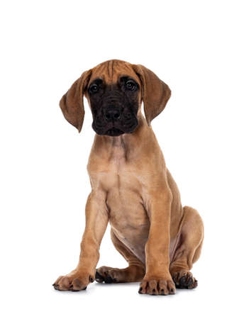 Handsome naughty fawn / blond Great Dane puppy, sitting facing front Looking straight to lens with dark shiny eyes. Isolated on white background.