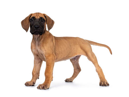 Handsome fawn / blond Great Dane puppy, standing side ways. Looking straight at lens with dark shiny eyes. Isolated on white background. Stockfoto