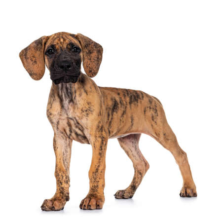 Cute light brindle Great Dane pup, standing side ways. Looking at camera with dark shiny eyes. Isolated on white background. Archivio Fotografico
