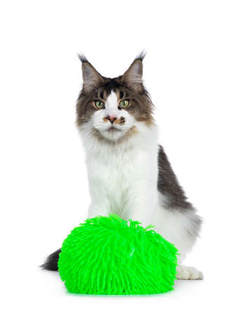 Handsome young adult Maine Coon cat, sitting behind green virus ball. Looking towards camera with green eyes. Isolated on white background.
