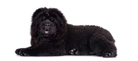 Majestic solid black Chow Chow dog pup, laying down side ways. Looking towards camera. Mouth open and blue tongue out.