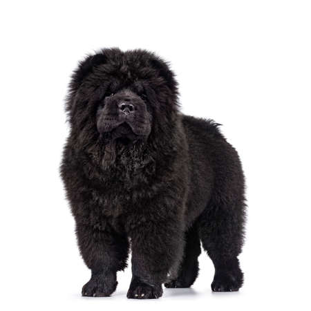 Majestic solid black Chow Chow dog puppy, standing sideways facing front. Looking towards camera. Mouth closed. Stockfoto