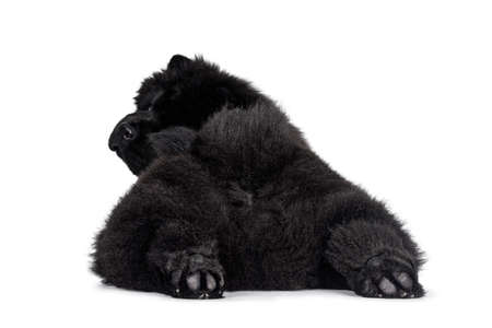 Majestic solid black Chow Chow dog puppy, laying down backwards. Looking over shoulder towards camera. Hind paws stretched like seal.