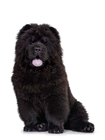 Majestic solid black Chow Chow dog puppy, sitting up facing front. Looking towards camera. Mouth ope and blue tongue out.
