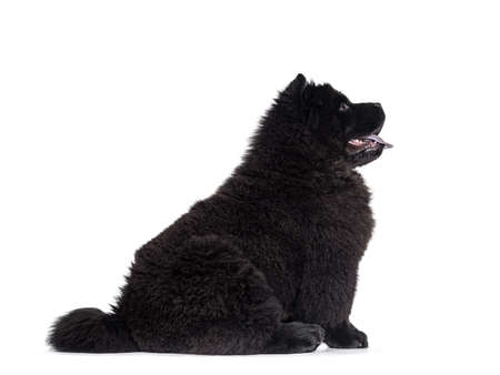 Majestic solid black Chow Chow dog puppy, sitting up side ways. Looking straight ahead side ways. Mouth open and blue tongue out.