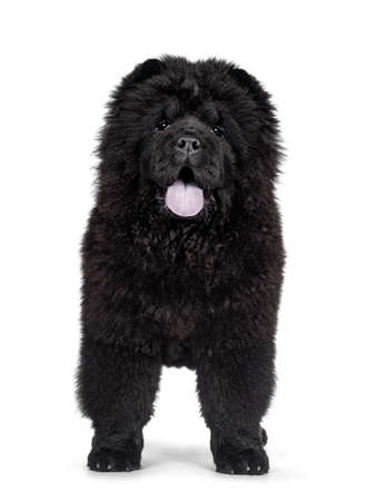 Majestic solid black Chow Chow dog puppy, standing facing front. Looking towards camera. Mouth open and blue tongue out.