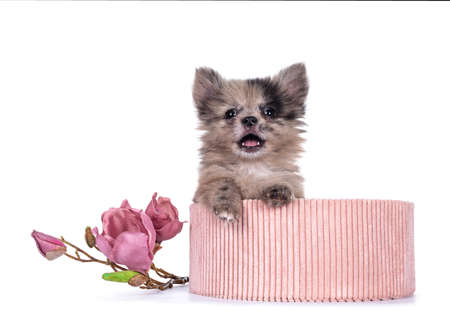 Very cute blue merle mixed breed Pomerian / Boomer puppy, sitting in pink corduroy basket. Looking towards camera with shiny dark eyes, mouth open showing teeth and tongue. Isolated on white background.
