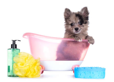 Very cute blue merle mixed breed Pomerian / Boomer puppy, sitting in pink doll bath with soap and sponge. Looking towards camera with shiny dark eyes. Isolated on white background.