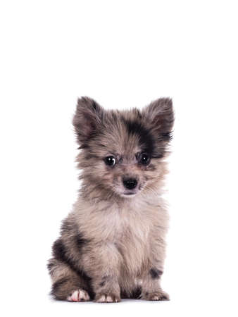 Very cute blue merle mixed breed Pomerian / Boomer puppy, sitting up. Looking towards camera with shiny dark eyes. Isolated on white background.