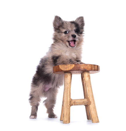 Very cute smiling blue merle mixed breed Pomerian / Boomer puppy, standing with front paws on little white stool. Looking towards camera with shiny dark eyes with mouth open. Isolated on white background. Stockfoto