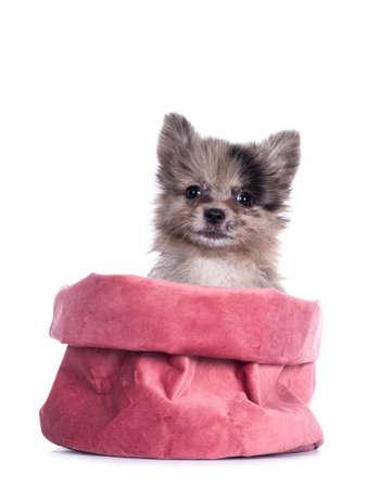 Very cute blue merle mixed breed Pomerian / Boomer puppy, sitting in pink velvet bag. Looking towards camera with shiny dark eyes. Isolated on white background. Stockfoto