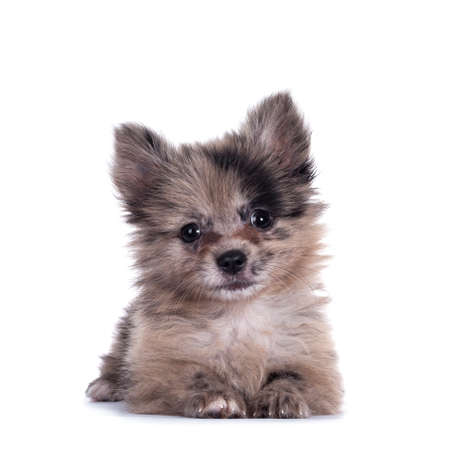 Very cute blue merle mixed breed Pomerian / Boomer puppy, laying down facing front. Looking towards camera with shiny dark eyes. Isolated on white background. Stockfoto