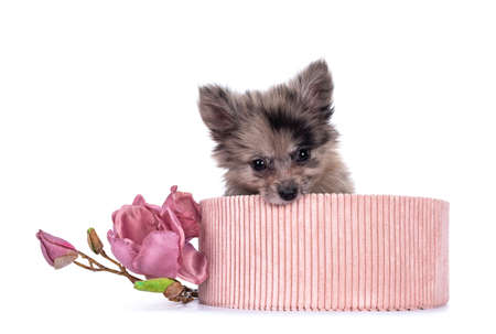 Very cute blue merle mixed breed Pomerian / Boomer puppy, sitting in pink corduroy basket. Looking towards camera with shiny dark eyes, while biting naughty in basket. Isolated on white background.