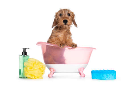 Cute blond mini Wirehair Kanninchen Dachshund puppy, sitting in pink bath. Front paws on edge and looking towards camera. Isolated on white background.
