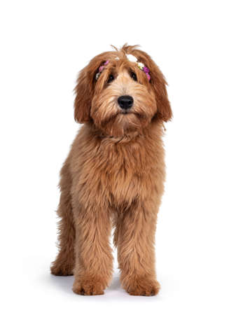 Cute red / abricot Australian Cobberdog / Labradoodle dog pup, laying down side ways standing facing front wearing pink / white flowers Isolated on white background.