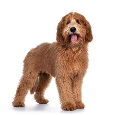 Cute red / abricot Australian Cobberdog / Labradoodle dog pup, standing side ways. Looking at camera, mouth open and tongue out. Isolated on white background.