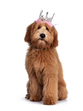 Cute red / abricot Australian Cobberdog / Labradoodle dog pup, laying down side ways standing facing front wearing pink / silver crow. Isolated on white background.