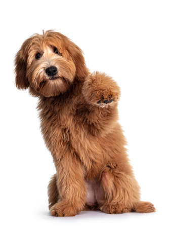 Cute red / abricot Australian Cobberdog / Labradoodle dog pup, sitting up with one paw high in air. Mouth closed. Isolated on white background.