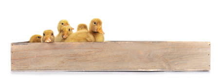 Group of ten day old Peking Duck chicks, standing / laying in wooden box. Isolated on white background.