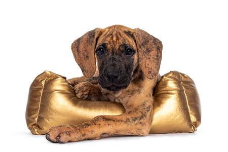 Cute light brindle Great Dane puppy, laying down in golden basket. Looking towards camera with shiny dark eyes. Isolated on white background.