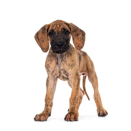 Cute light brindle Great Dane puppy, standing facing front. Looking straight to camera with shiny dark eyes. Isolated on white background.