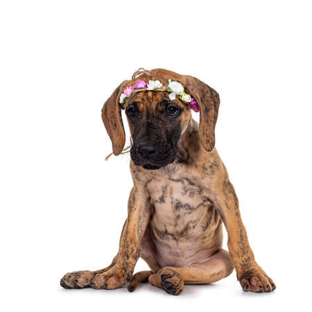 Cute light brindle Great Dane puppy, sitting facing front wearing flower band on head. Looking very bored beside camera with shiny dark eyes. Isolated on white background.