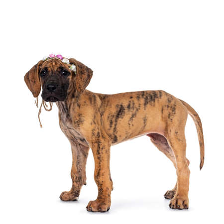 Cute light brindle Great Dane puppy, sitting side ways wearing flower band on head. Looking at camera with shiny dark eyes. Isolated on white background.