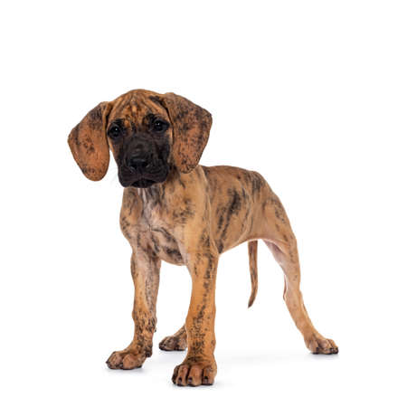 Cute light brindle Great Dane puppy, standing side ways. lookign towards camera with shiny dark eyes. Isolated on white background. Banco de Imagens